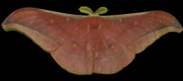 Muga Silk Producing Butterfly
